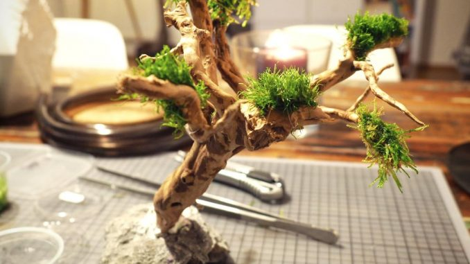 Perfekt Bonsai Baum Fürs Nano Aquarium