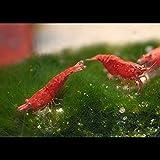 10 Red Sakura Garnelen Extrem ROT Deutsche Nachzuchten
