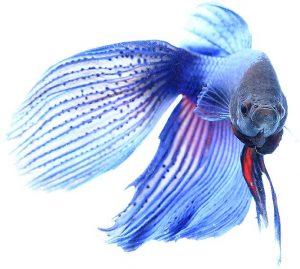 Besatz im Nano-Aquarium: Kampffisch