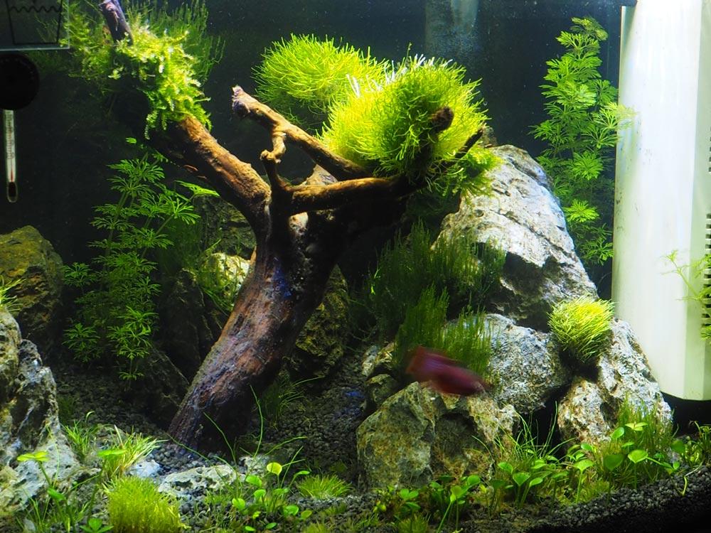 Bonsai Bäumchen fürs Nano-Aquarium