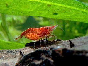 Red Fire-Garnele – Neocaridina davidi: beliebter Besatz fürs Nano-Aquarium